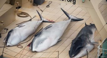 Japan to resume commercial whaling